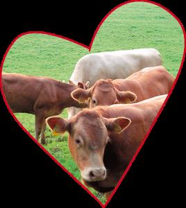 Kühe im Sauerland auf Monikas Ferienhof