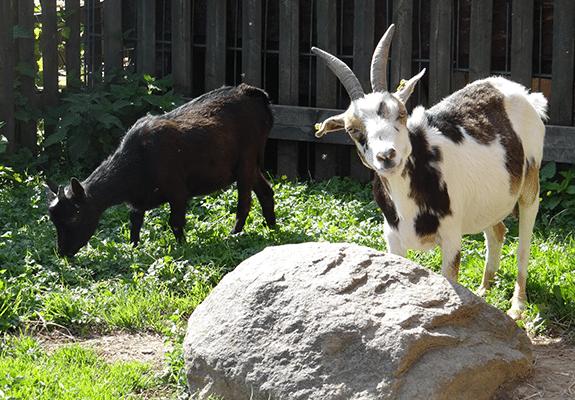 Abenteuerurlaub mit Ziegen auf Monikas Ferienhof